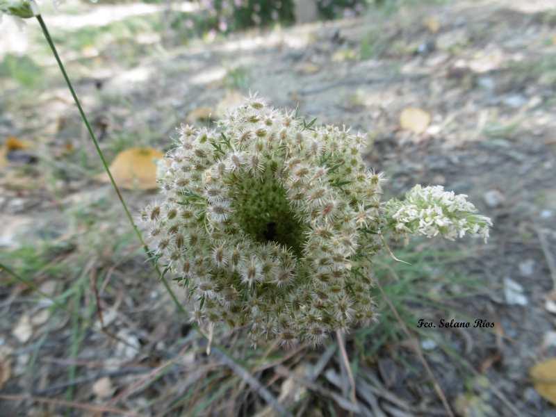Mis Amigas Las Plantas Zanahoria Silvestre Planta herbácea umbelífera, con flores blancas y purpúrea la central de la umbela, con fruto seco y. alhaurin com
